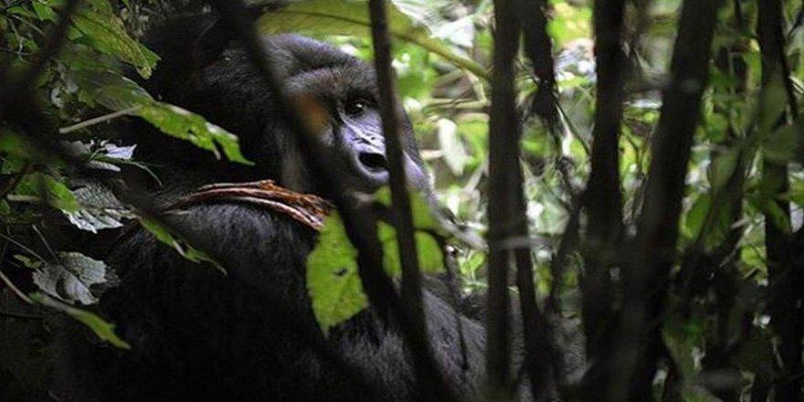 Goriller de koronavirüs tehdidiyle karşı karşıya
