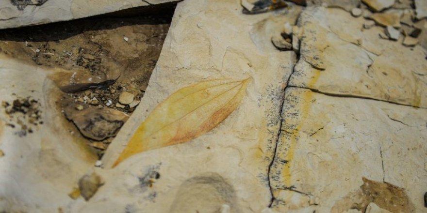 Palmiye fosilleri bulundu: Iğdır'ın denize kıyısı varmış