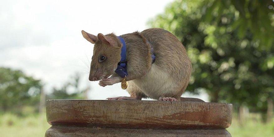 İngiltere'den, mayın bulmakla görevli 'kahraman fareye' cesaret madalyası