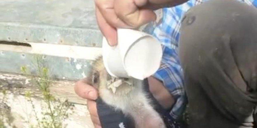 Diyarbakırlı çiftçi domuz yavrularını sütle besledi