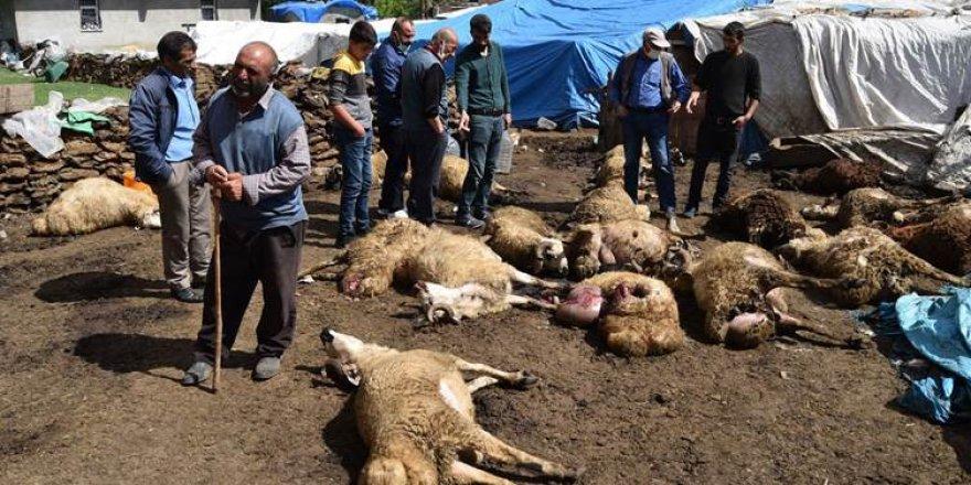Kars'ta kurtlar sürüye saldırdı: 22 koyun telef oldu, 15'i yaralandı