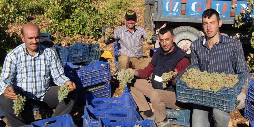 Mardin'de üzüm hasadı başladı...