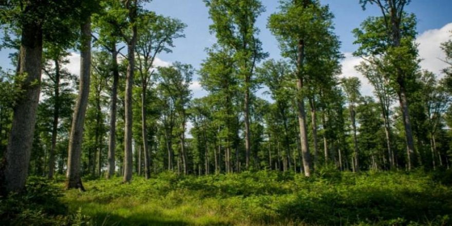 1 trilyondan fazla ağaç dikmek küresel ısınmayı durdurabilir!
