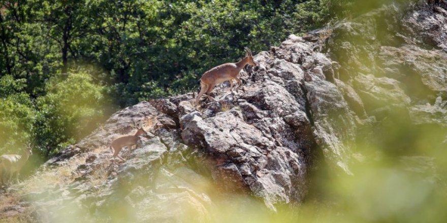 Dersim'in yaban keçileri yavrularıyla sarp kayalıklarda