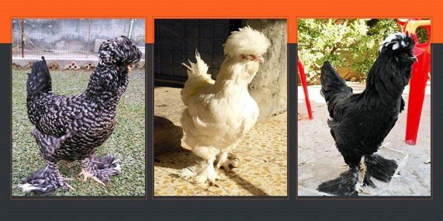 Kürdistan'da yeni tavuk cinsi bulundu